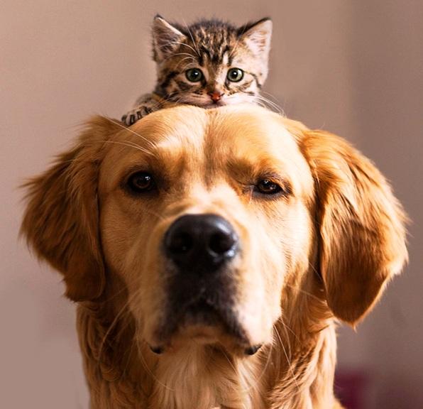 Mačka na glavi retrivera