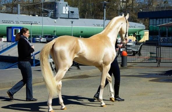 Akhal teke konj