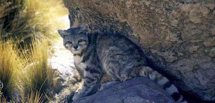Retke divlje mačke - andska mačka