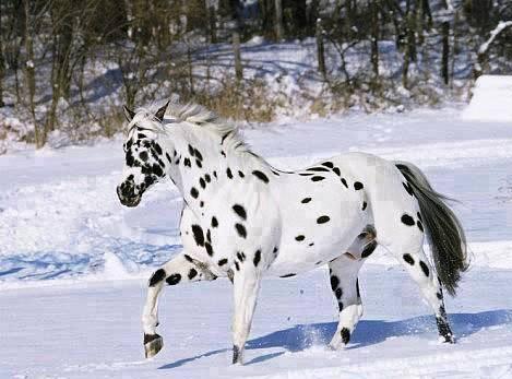 Apaluza konj