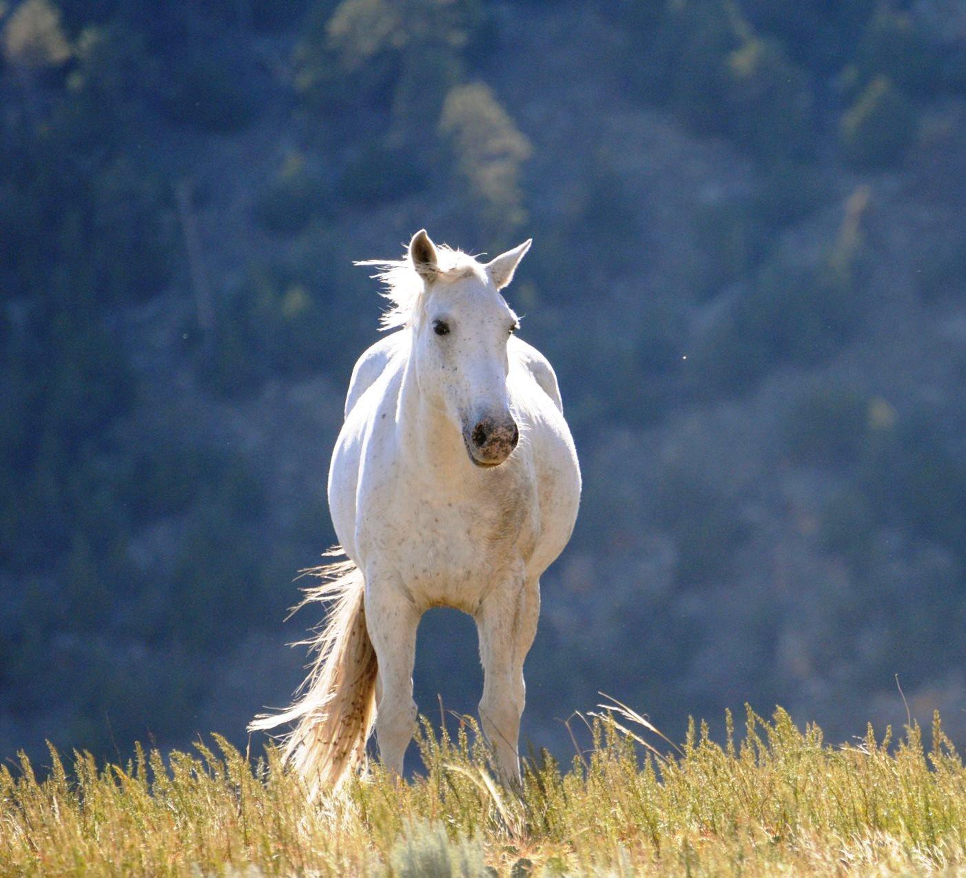 Konj beli mustang