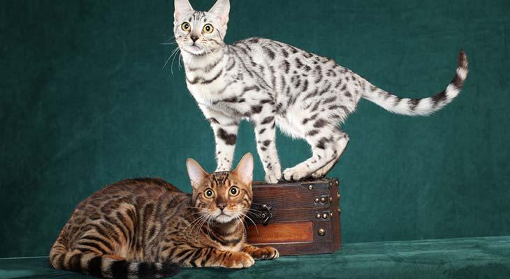 Bengalske mačke zajedno