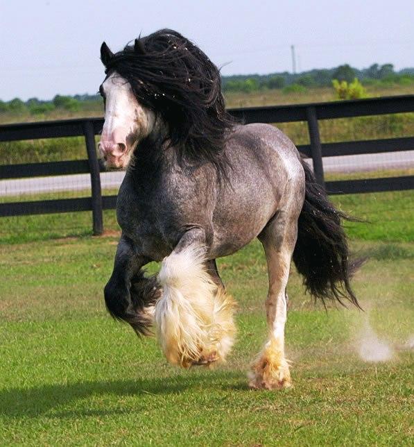 Blu roan ciganski konj