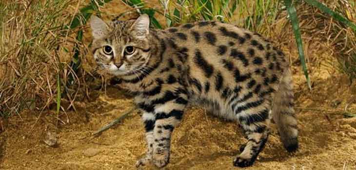 Retke vrste mačaka - crnonoga mačka