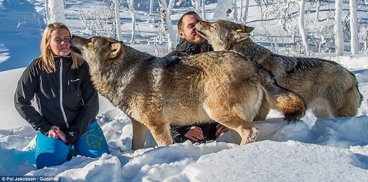Druzenje sa coporom vukova