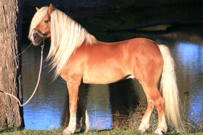 halfinger konj