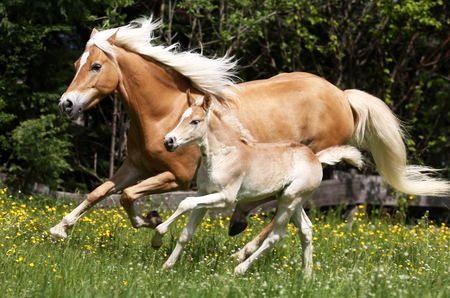 Halfinger kobila sa ždrebetom