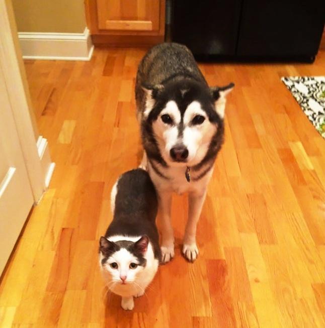 haski i mačka iste boje