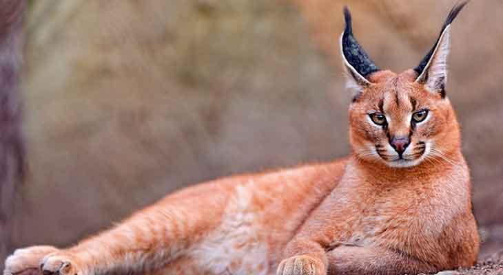 Retke divlje mačke - karakal