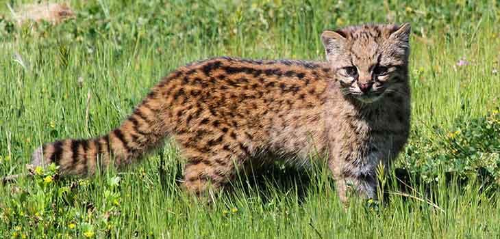 Retke divlje mačke - kodkod