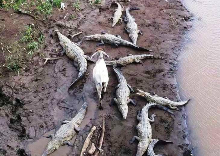 Koza i krokodili