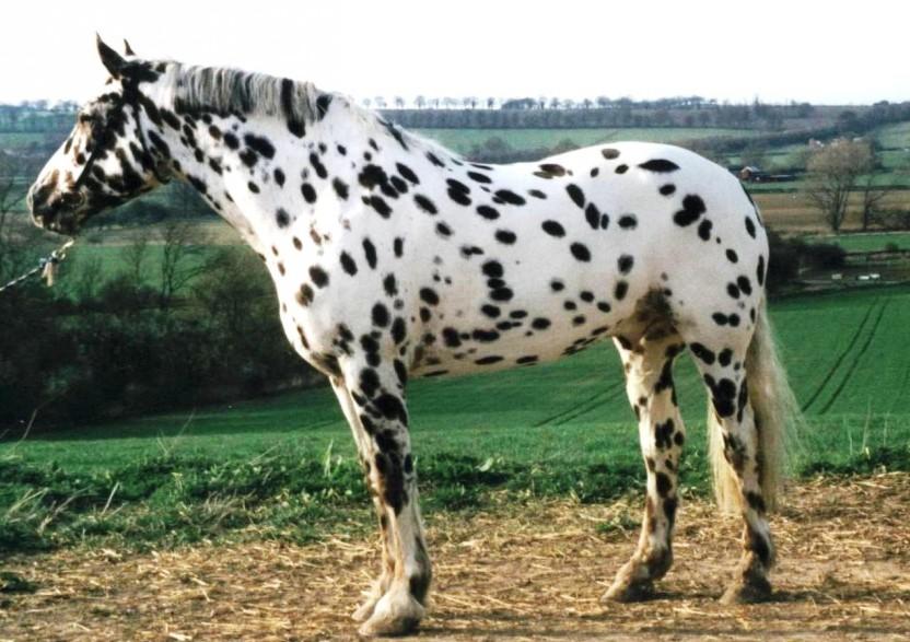 leopard apaluza konj