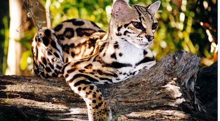 Retke divlje mačke - margaj