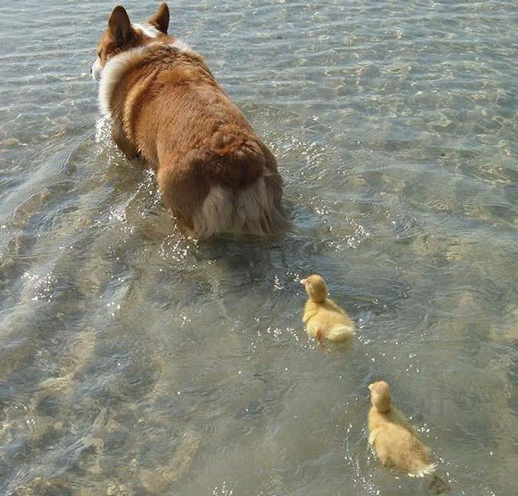 Pas uči pačiće plivanju