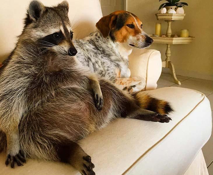 Pas i rakun gledaju TV