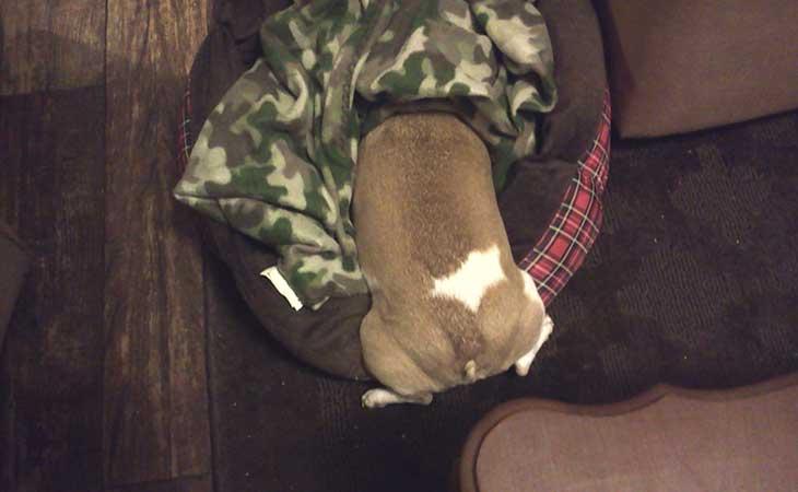 Pase se krije u krevetu