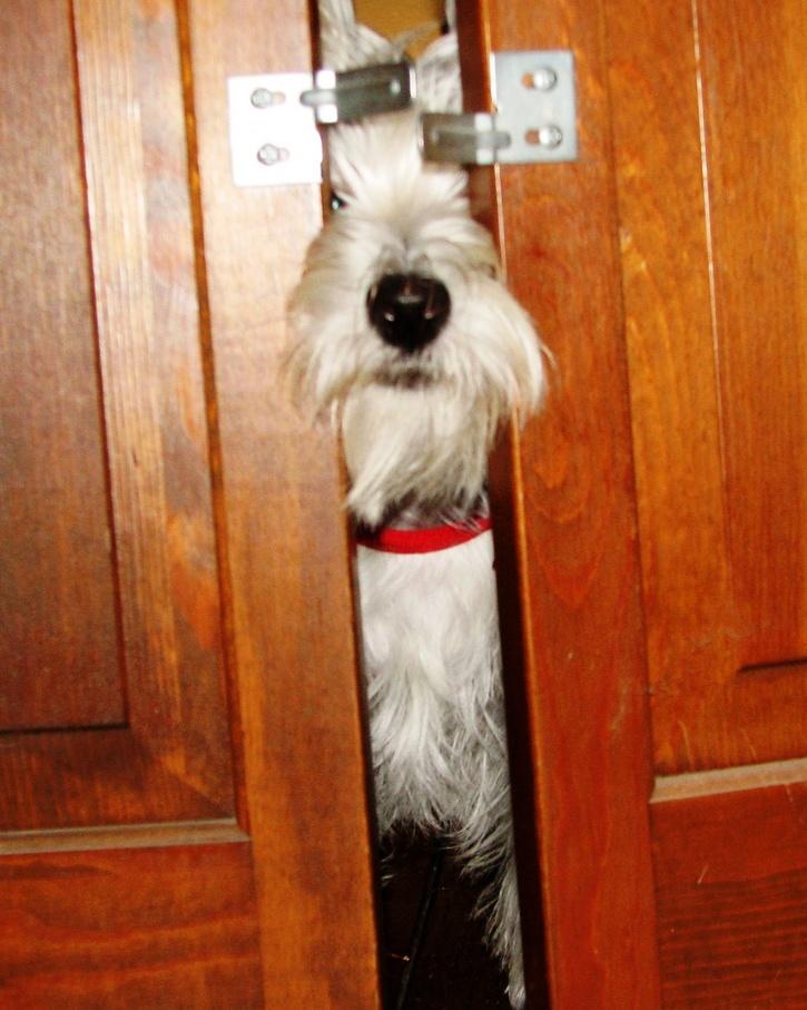 Pas ne voli zatvorena vrata