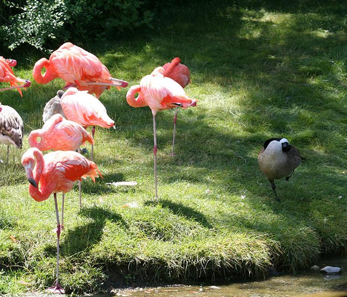 Patka misli da je flamingo