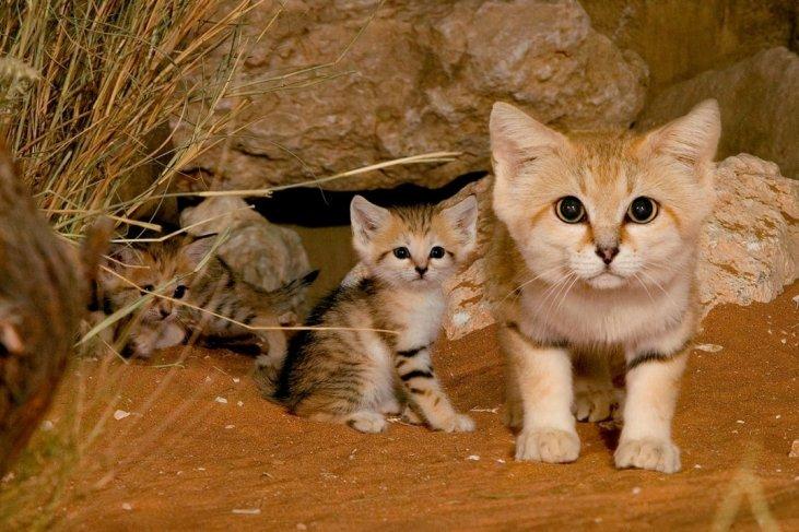 Pustinjska mačka i mačići