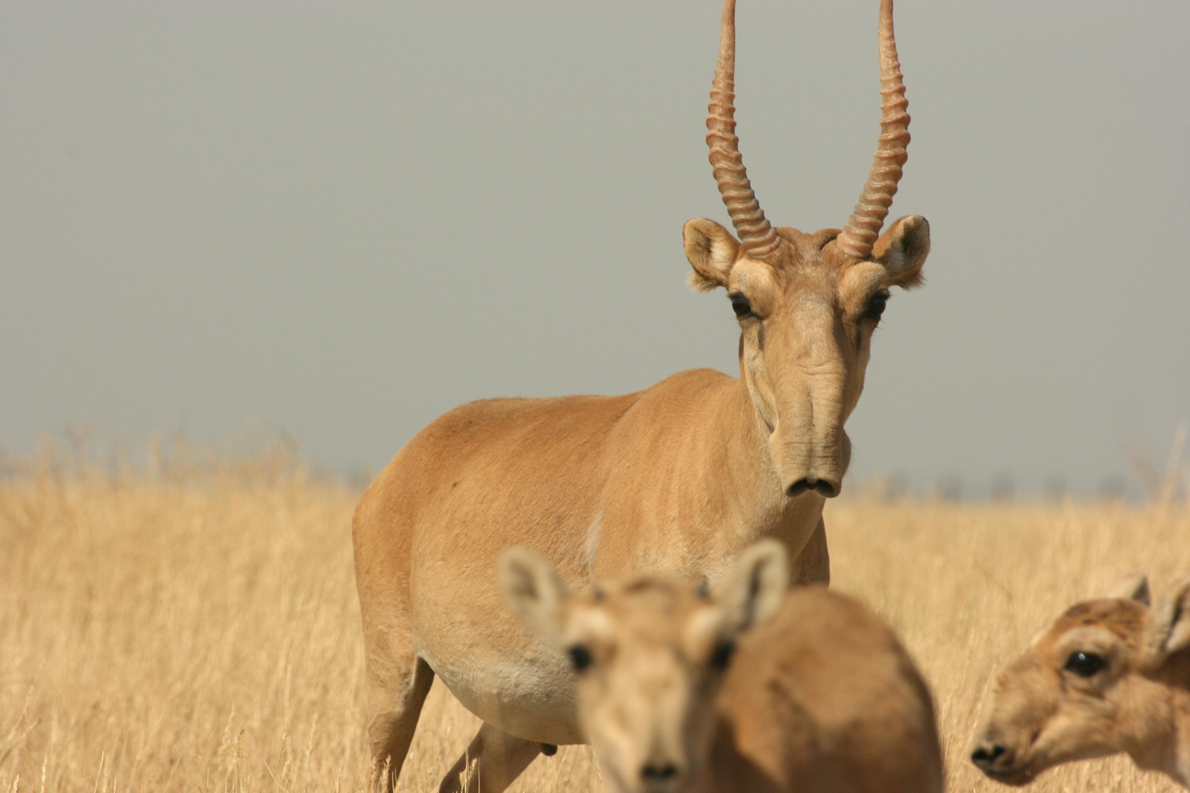 Sajga antilopa