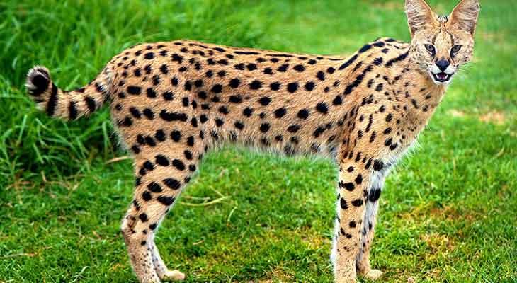 Retke divlje mačke - serval