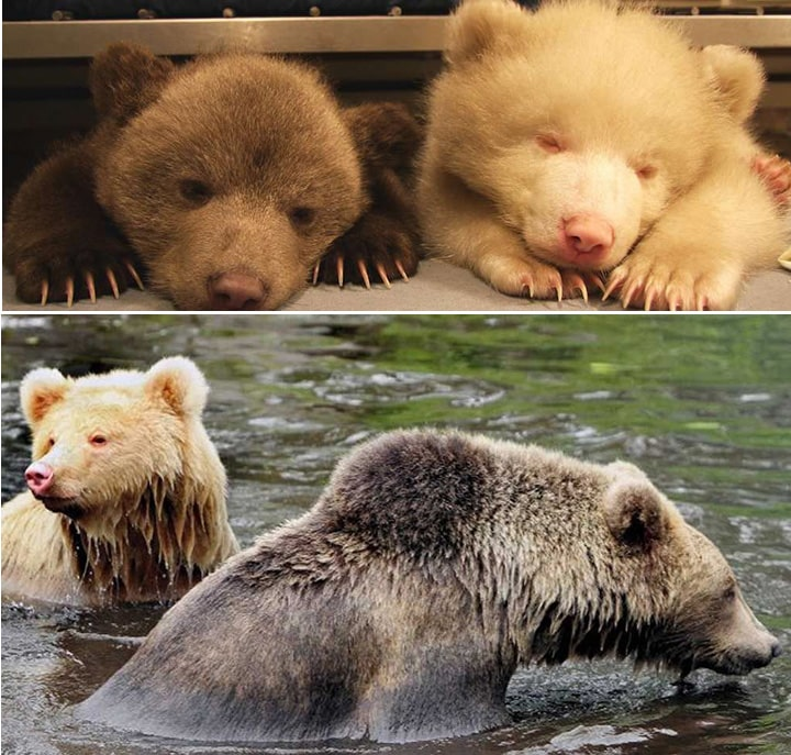Medvedi - So i Biber
