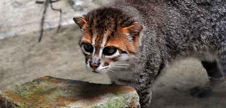Retke divlje mačke - sumatranska mačka