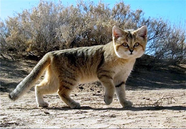 Tigrasta pustinjska mačka