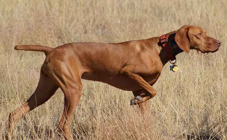 Psi rase - vižla u lovu