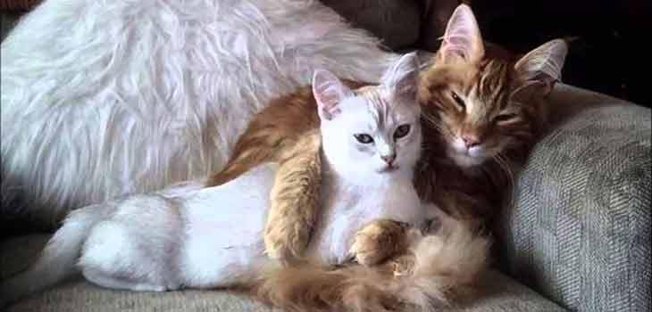 Zaljubljene mačke